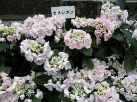 紫陽花28-06