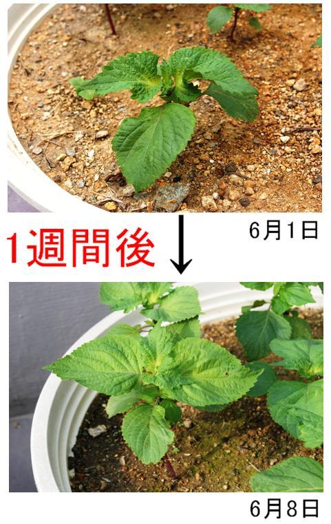 大葉の成長8日